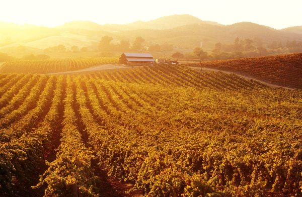remove-roundup-vineyard - serving northern and central california - norcal ag services